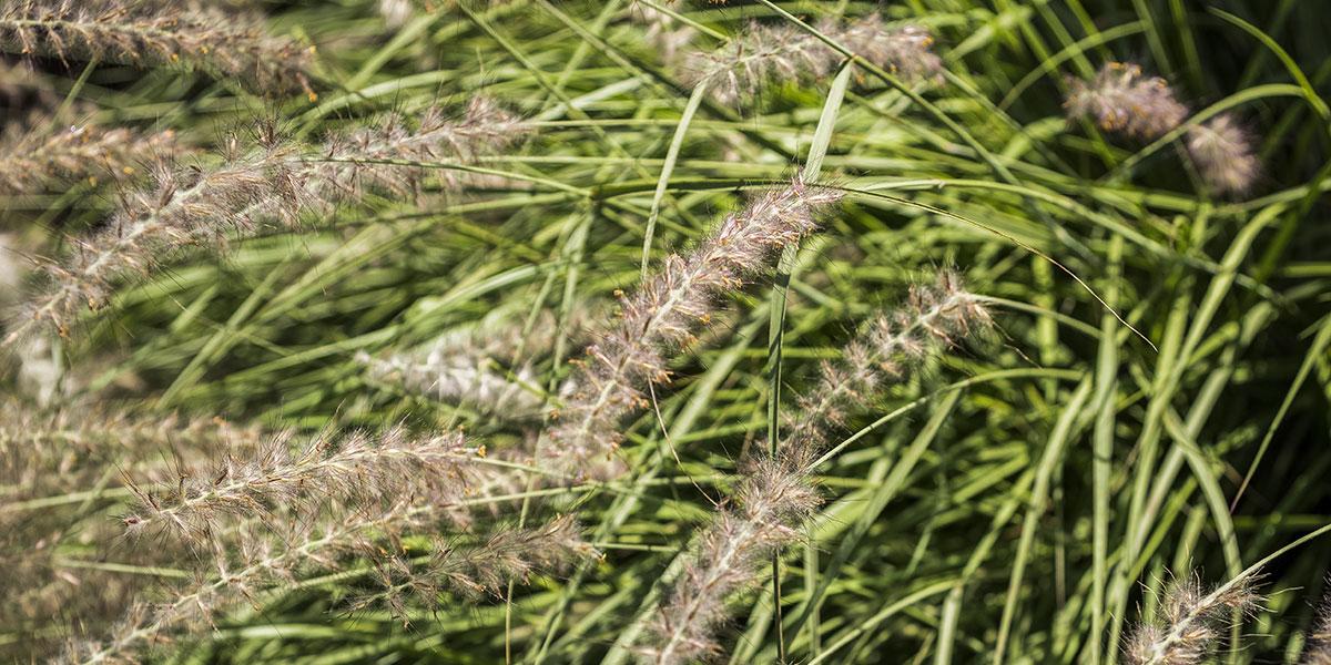 Jardin graminée paysagiste - Murmures de jardin